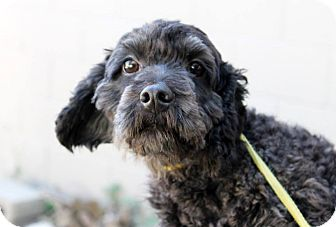 Cockapoo Dog for adoption in Buffalo, New York - Adelie: 3 years