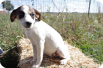 Terrier (Unknown Type, Small) Mix Puppy for adoption in Fairview Heights, Illinois - Isabella