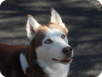 Siberian Husky Dog for adoption in Horsham, Pennsylvania - Shila