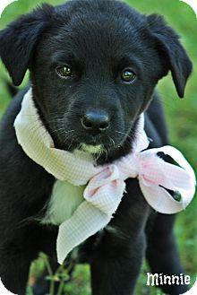 Labrador Retriever Mix Puppy for adoption in Cranford, New Jersey - Minnie