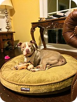 American Pit Bull Terrier/American Staffordshire Terrier Mix Dog for adoption in CHAMPAIGN, Illinois - GIA