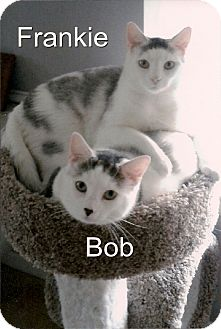 Domestic Shorthair Cat for adoption in Medway, Massachusetts - Bob