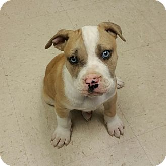 Pit Bull Terrier/American Bulldog Mix Puppy for adoption in Hagerstown, Maryland - Rocko (LR)