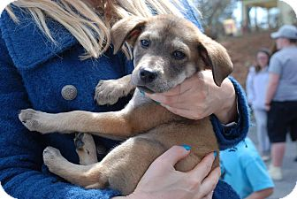 Shepherd (Unknown Type) Mix Puppy for adoption in Milton, New York - Ross