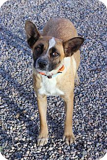Shepherd (Unknown Type) Mix Dog for adoption in Westminster, Colorado - Melody