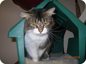Domestic Longhair Cat for adoption in Newburgh, Indiana - Tammy