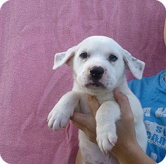 Beagle/English Springer Spaniel Mix Puppy for adoption in Oviedo, Florida - Rocko
