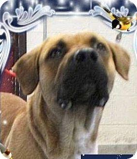 Labrador Retriever/Shepherd (Unknown Type) Mix Dog for adoption in Red Bluff, California - REY