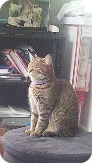 Domestic Shorthair Cat for adoption in Warren, Michigan - Scotland