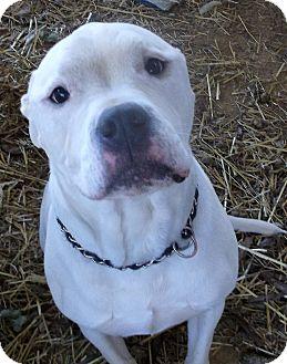 American Bulldog Mix Dog for adoption in Rockmart, Georgia - Georgia