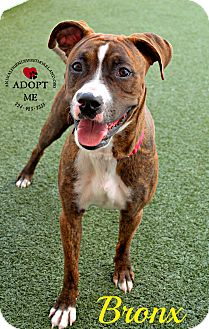 Boxer Mix Dog for adoption in Youngwood, Pennsylvania - Bronx
