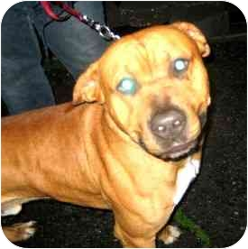 Mastiff/American Pit Bull Terrier Mix Dog for adoption in Berkeley, California - Rusty