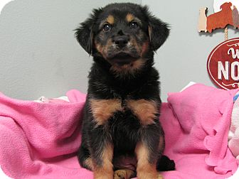 Shepherd (Unknown Type)/Collie Mix Puppy for adoption in Groton, Massachusetts - Roxie