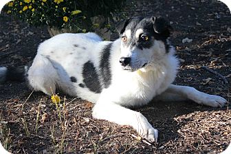Australian Shepherd Mix Dog for adoption in Westminster, Colorado - WANDA
