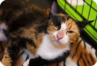 Calico Cat for adoption in Charlotte, North Carolina - A..  Oksana