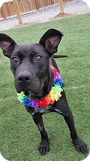 American Pit Bull Terrier Mix Dog for adoption in Mt juliet, Tennessee - ONY