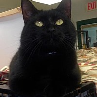 Domestic Shorthair/Domestic Shorthair Mix Cat for adoption in Anderson, Indiana - Mark