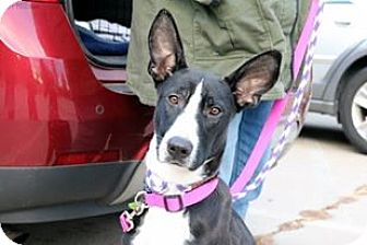 Bull Terrier/Border Collie Mix Dog for adoption in Sugar Grove, Illinois - Star