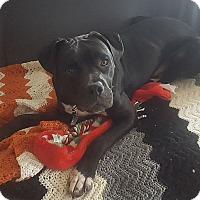 Adopt A Pet :: Ranger - North Brunswick, NJ