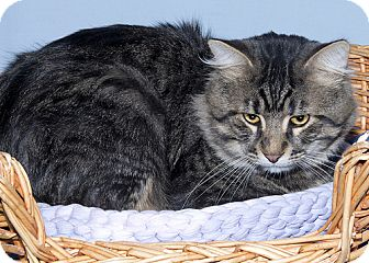 Domestic Mediumhair Cat for adoption in Gatineau, Quebec - Rick