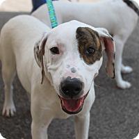 Adopt A Pet :: Capone - Jackson, TN