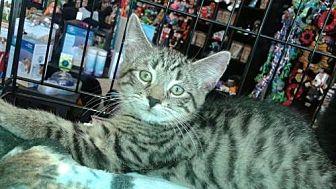 Domestic Shorthair Kitten for adoption in Harrisburg, Pennsylvania - Monte (baby boy)