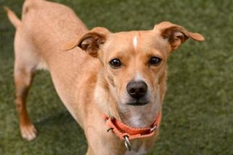Chihuahua Mix Dog for adoption in Sedona, Arizona - Grumpy