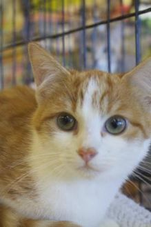 Domestic Mediumhair/Domestic Shorthair Mix Cat for adoption in Ellicott City, Maryland - Pumpkin