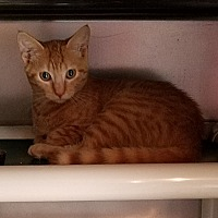 Adopt A Pet :: Dreamsicle - Geneseo, IL