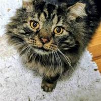 Adopt A Pet :: Pibble - Denver, CO