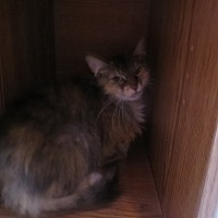 Adopt A Pet :: Abigail - Coos Bay, OR
