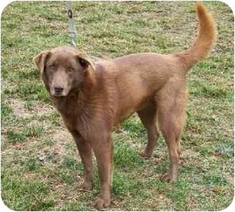 Chesapeake Bay Retriever/Retriever (Unknown Type) Mix Dog for adoption in Gallatin, Tennessee - ROCHER - Adoption fee $40