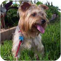 Yorkie, Yorkshire Terrier Dog for adoption in West Palm Beach, Florida - Simon