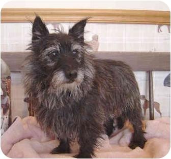 Cairn Terrier Dog for adoption in Overland Park, Kansas - Trotter