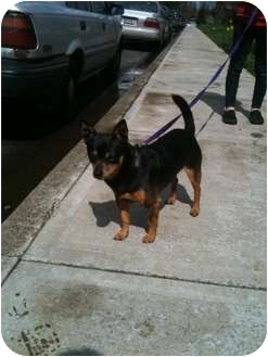 Chihuahua Mix Dog for adoption in Portland, Oregon - Siegfried