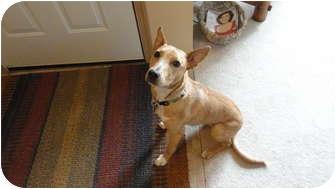 Labrador Retriever/Sheltie, Shetland Sheepdog Mix Dog for adoption in Portland, Oregon - Reno