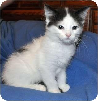 Domestic Shorthair Kitten for adoption in Morehead City, North Carolina - Barney