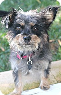 Yorkie, Yorkshire Terrier/Terrier (Unknown Type, Small) Mix Dog for adoption in Bellflower, California - Hope