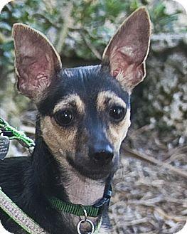 Italian Greyhound/Miniature Pinscher Mix Dog for adoption in North Palm Beach, Florida - Lola