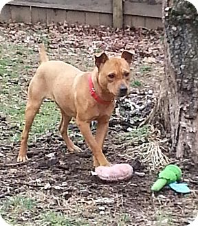 Labrador Retriever/Jack Russell Terrier Mix Dog for adoption in Hagerstown, Maryland - Biskit $100 off