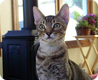 Domestic Shorthair Cat for adoption in Grand Rapids, Michigan - Rex