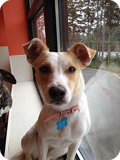 Terrier (Unknown Type, Small)/Fox Terrier (Smooth) Mix Dog for adoption in Gig Harbor, Washington - Myah