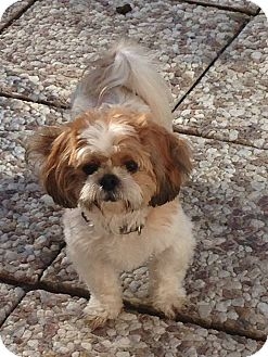 Shih Tzu Mix Dog for adoption in Wethersfield, Connecticut - Molly (Adoption Pending)