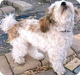 Poodle (Toy or Tea Cup) Mix Dog for adoption in Thousand Oaks, California - Ripley