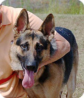 German Shepherd Dog Puppy for adoption in Preston, Connecticut - Texas