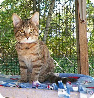Domestic Shorthair Kitten for adoption in Dover, Ohio - Alana