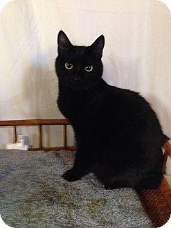 American Bobtail Cat for adoption in Simpsonville, South Carolina - Newton
