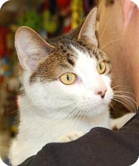 Domestic Shorthair Cat for adoption in Brooklyn, New York - Nucky