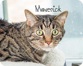 Domestic Shorthair Cat for adoption in Somerset, Pennsylvania - Maverick
