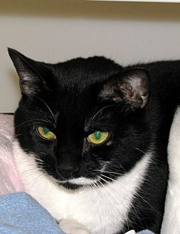 Domestic Shorthair Cat for adoption in Ashland, Massachusetts - Suzy